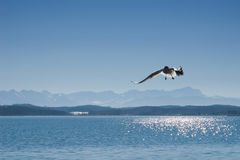 Seagull on lake Starnberger See in Bavaria Stock Images