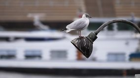 Seagull of a lamp in front of a river. Gulls stock video footage