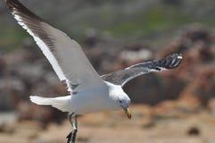 Seagull landing Royalty Free Stock Photos