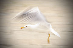 Seagull landing Royalty Free Stock Photography