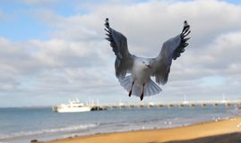 Seagull landing. Close up of seagull landing on shore Stock Images
