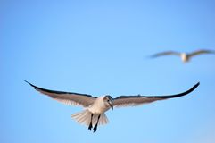 Seagull Landing Royalty Free Stock Images