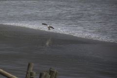 Seagull landing on the beach royalty free stock photography