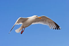 Seagull landing down Stock Images