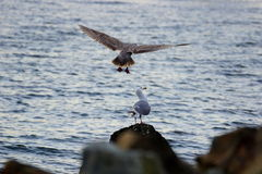 Seagull Landing. A seagull looks up in surprise as another lands over the top of him. Captured at Myrtle Edwards Park in Seattle, Washington Royalty Free Stock Image