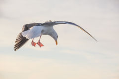 A seagull landing. A seagull making its forced landing Stock Photo