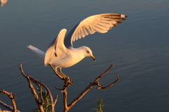Seagull Landing On Top Of Branches Stock Photos