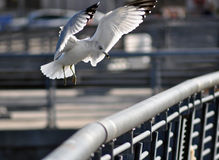 A Seagull Landing. On a Rail Stock Photo