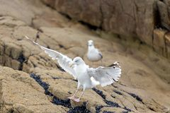 Seagull landing on rock Royalty Free Stock Photos