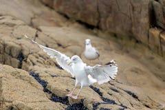 Seagull landing on rock Royalty Free Stock Photos