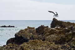 Seagull landing on a rock Royalty Free Stock Photo