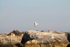 Seagull landing on the rocks near the sea. In a sunny day Stock Image