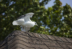 Seagull Landing on a Roof Stock Photo