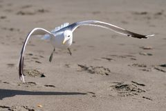 Seagull landing on a sandy beach. On a sunny day Stock Images