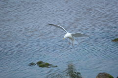 Seagull landing in the sea Stock Images