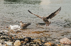 Seagull Landing and Squawking. On pebble beach Royalty Free Stock Photos