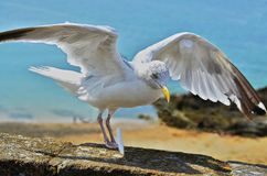 Seagull, landing on a stone wall with blue ocean in background royalty free stock photo