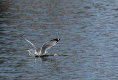 Seagull landing in water Stock Photo