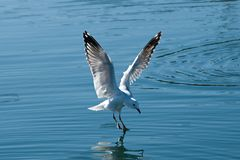 Seagull Landing with Water Reflections. Flying Seagull close up in the process of landing in smooth water with reflections. Lake Macquarie, New South Wales Stock Photo