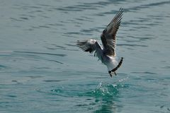 Seagull landing on the water Royalty Free Stock Image