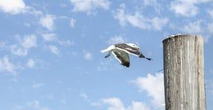 Seagull landing on wooden pillar. royalty free stock photos