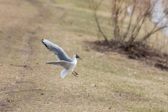 Seagull lands on the grass Royalty Free Stock Photo