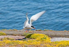 Seagull lands Royalty Free Stock Photos