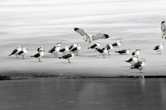 Sea Gull Makes Landing Onto Ice With Flock. Seagull lands among other gulls on frozen lake all in gray, white and black Stock Photo