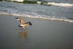 Seagull lands on Ventnor Beach Stock Images