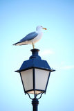 Seagull on lantern light Royalty Free Stock Images