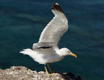 Seagull in Lanzarote Royalty Free Stock Photography