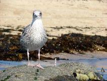 Seagull Lari Laridae przy The Sun fotografia stock
