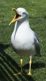 Seagull Laridae With Mouth Wide Open Stock Photography