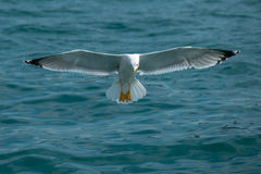 Seagull larnding. Seagulls with large spread wings ia landing in the sea Stock Photo