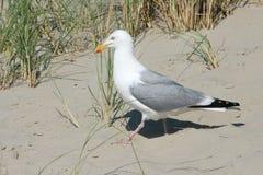 Seagull (Larus argentatus) Zdjęcie Royalty Free