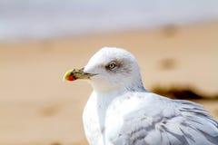 Seagull, Larus argentatus Zdjęcia Royalty Free