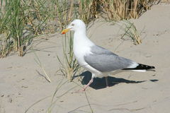 Seagull (Larus argentatus). Close-up of a gull sitting on the sand royalty free stock photo