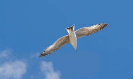 Seagull Larus argentatus floating in the blue sky Royalty Free Stock Photography