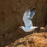 Seagull Larus Argentatus species on seashore Stock Image