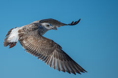 Seagull larus. Pacific gull is flying in the blue sky on slovenian Adriatic cost Stock Images
