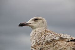 Seagull closeup looking left blurred bg. A gray feathered seagull Larus closeup blurred background stock image