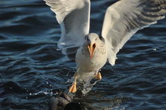 Seagull (Larus fuscus) Stock Photos