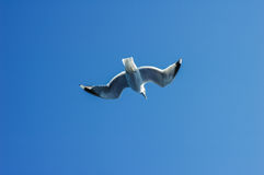 Seagull (Larus marinus) flying in sky Royalty Free Stock Photo