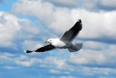 A seagull (Larus michahellis) Stock Photos