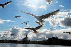 A seagull (Larus michahellis) Royalty Free Stock Images