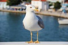 Seagull - Larus Michahellis Fotografering för Bildbyråer