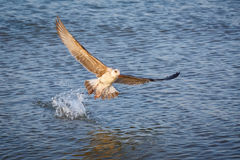 Seagull Larus michahellis takes off from water Stock Photo