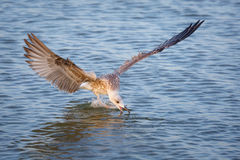 Seagull Larus michahellis tries to grab food in the sea Royalty Free Stock Image