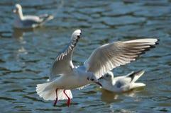 Seagull. (Larus ridibundus) in flight over the sea Stock Images