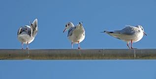 Seagull, Larus ridibundus Stock Photo